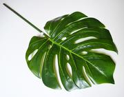 Monstera list